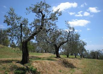 Attività - Raccolta olive